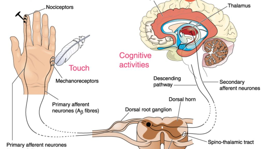 An infographic explaining how the brain perceives pain.