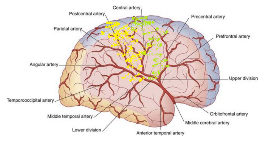 Schematic of Middle Cerebral artery
